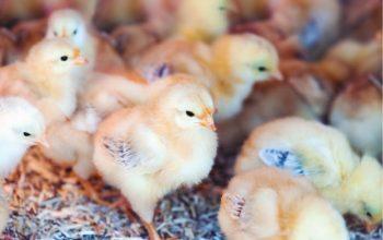 industria avícola_Mesa de trabajo 1